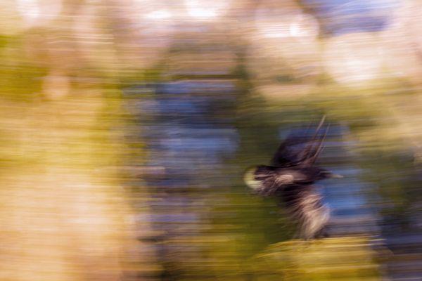 Crow in Flight thumbnail