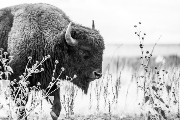 American Bison in Black and White thumbnail