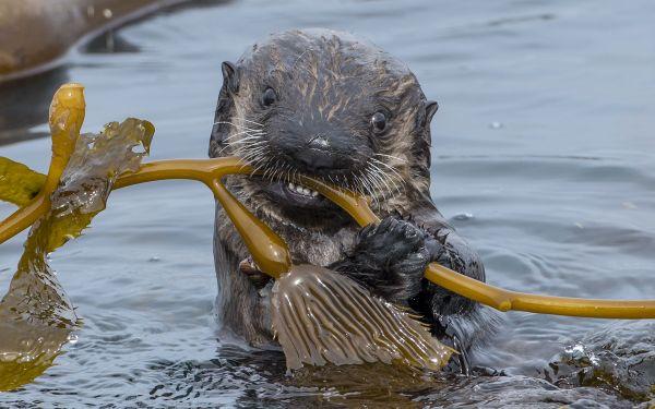 A Southern Sea Otter pup thumbnail