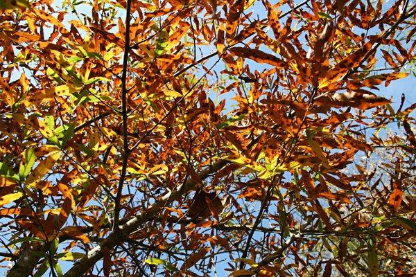 Willow Oak Leaves thumbnail