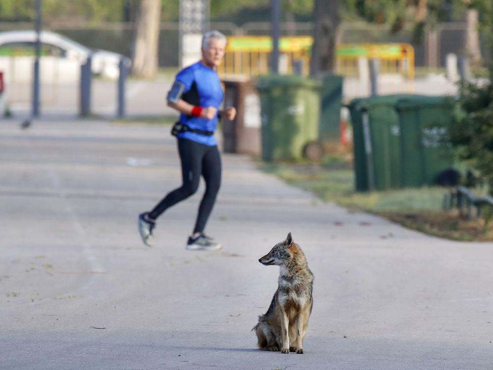 Jackal in Tel Aviv park with jogger in background