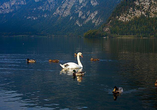 Swan Hallstatter See Austria