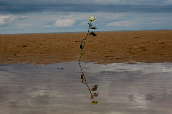 A Rose on Omaha Beach thumbnail