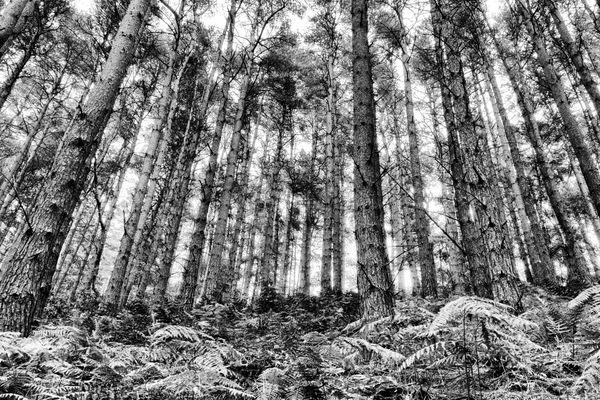 A Wall of Towering Pines thumbnail