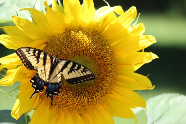 Butterfly on Sunflower thumbnail
