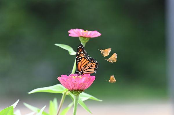 Moths admiring a Monarch Butterfly. thumbnail