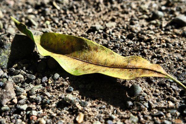 Fallen Leaf thumbnail