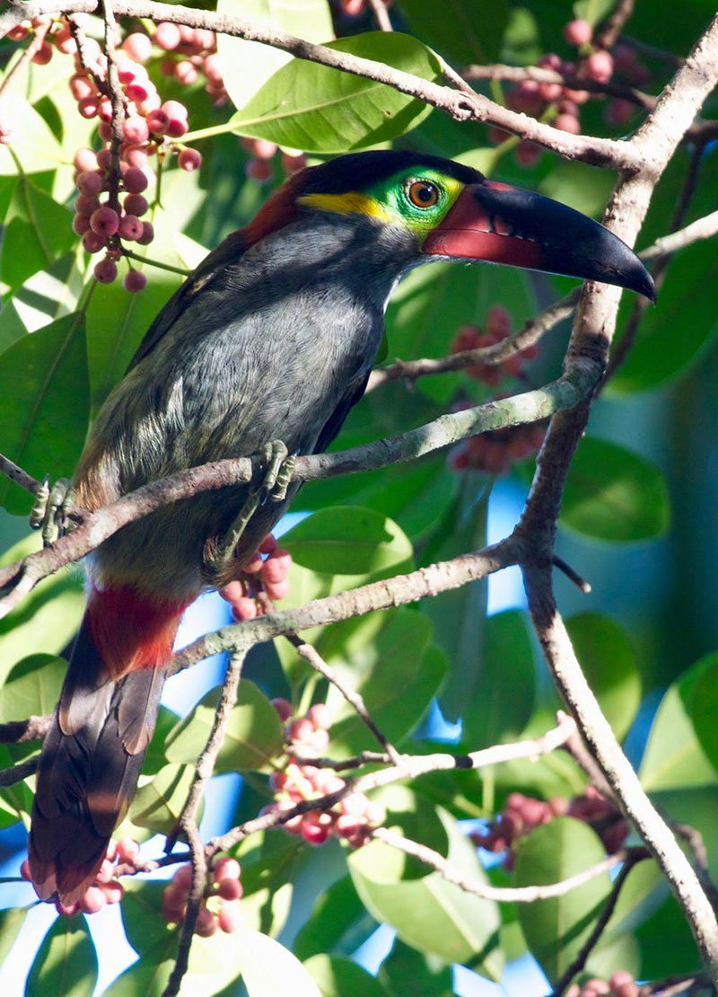 How Amazon Rivers Play a Role in the Evolution of Birds