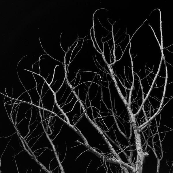 Naked Eucalyptus thumbnail