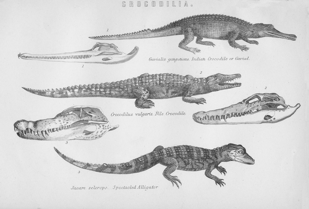 Modern Crocodiles Are Evolving at a Rapid Rate