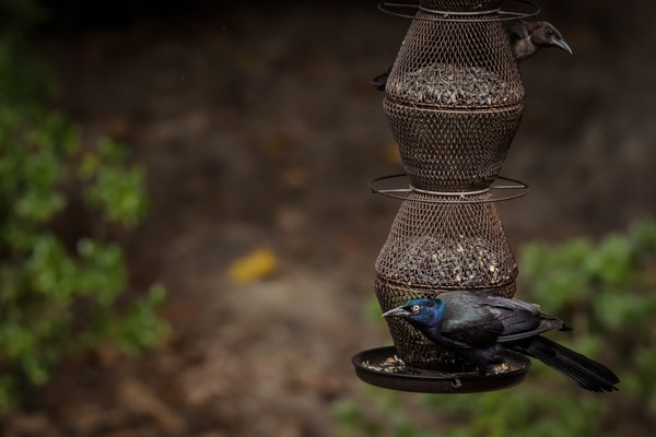 Just a couple of grackles taking over the feeder thumbnail