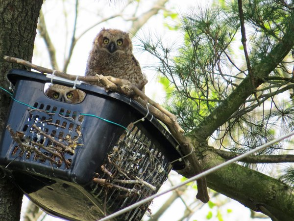 Two Great Horned Owlets safe in a basket thumbnail