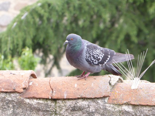 A dove on a traditional tile roof, in Avila, Spain thumbnail