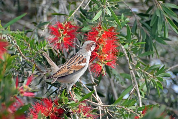 A male sparrow sipping nectar from the hanging red inflorescence of Australian Bottlebrush thumbnail