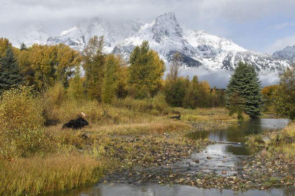 Grand Teton Bull  thumbnail