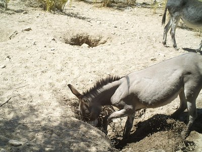 A donkey digging a well in the Sonoran Desert of Arizona.