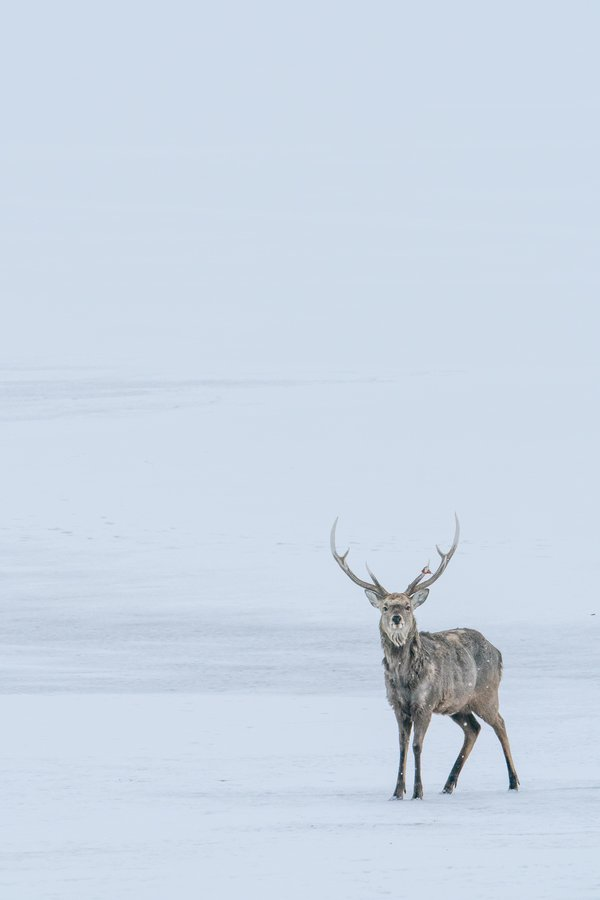A lone deer stands on the frozen ice at the Straits of Nemuro thumbnail