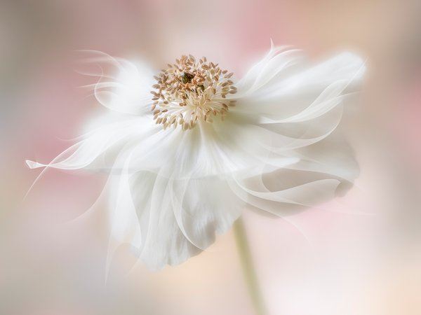 A anemone flower manipulated to add extra petals thumbnail