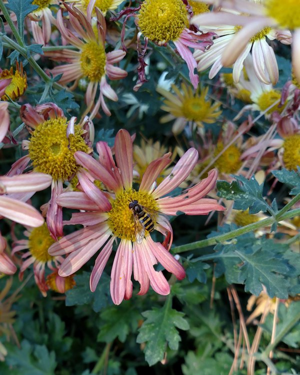 Hoverfly on a garden mum thumbnail