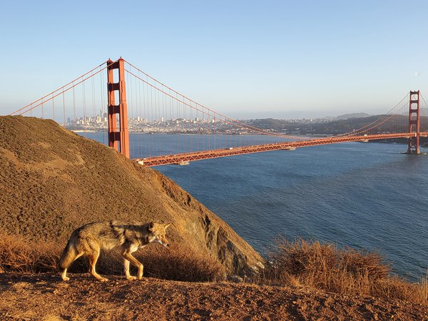 Coyote going for a stroll in front of Golden Gate Bridge thumbnail