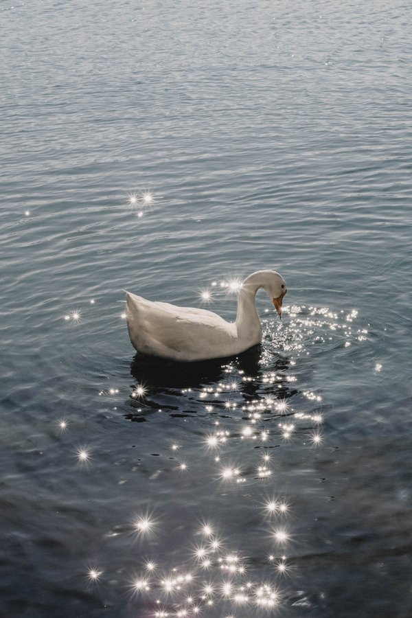 A goose in the midst of sparkling water. thumbnail