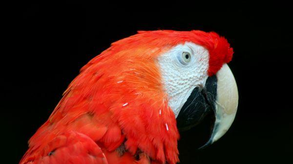 Parrot Portrait thumbnail