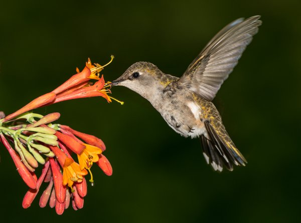 Calliope Female Hummingbird 15 thumbnail