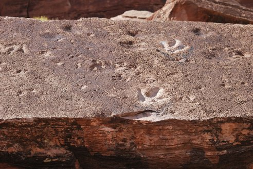 Tracks made by a medium-sized theropod on a slab of rock just outside of Moab, Utah.