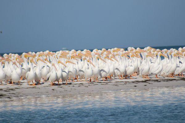White Pelicans thumbnail