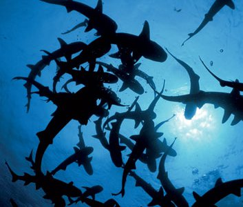 Some mostly solitary species (such as these whitetip reef sharks near Costa Rica) gather to feed or mate.