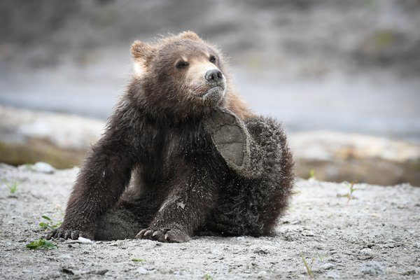 Brown bear cub scratching thumbnail
