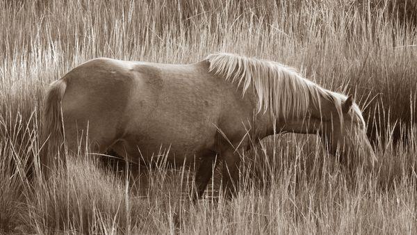 An Assateague Wild Horse Grazing in the Marsh thumbnail