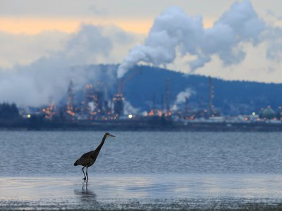 A great blue heron seen wading in front of an oil refinery. Burning and producing fossil fuels are major sources of air pollution. A new study estimates that over the last four decades environmental regulations aimed at improving air quality have saved the lives of some 1.5 billion birds across the United States.