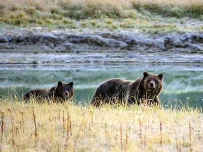 """All grizzly bears in the United States are considered """"threatened"""" under the Endangered Species Act and cannot be hunted, a federal appeals court ruled this month."""