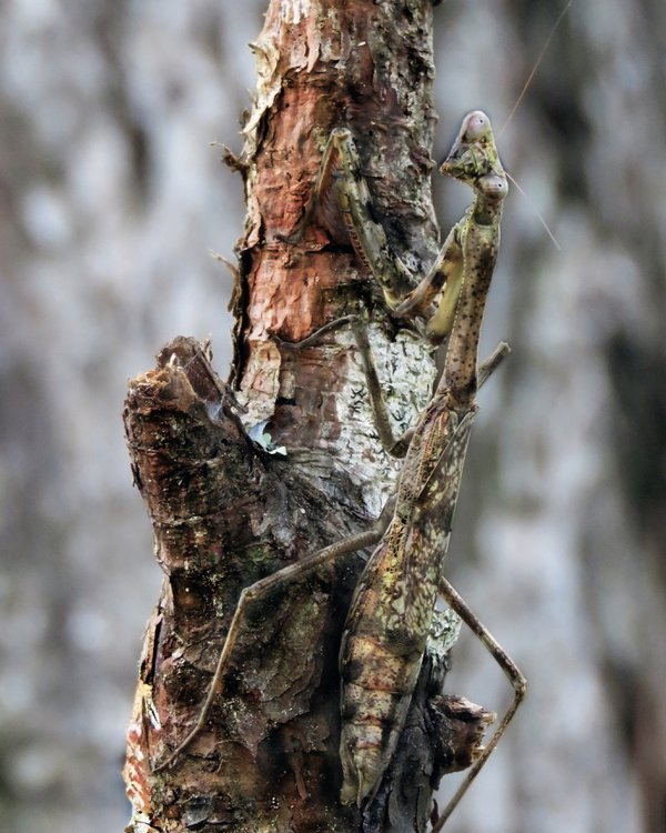 A brilliantly camouflaged praying mantis is poised upon a southern long-leaf pine tree. thumbnail