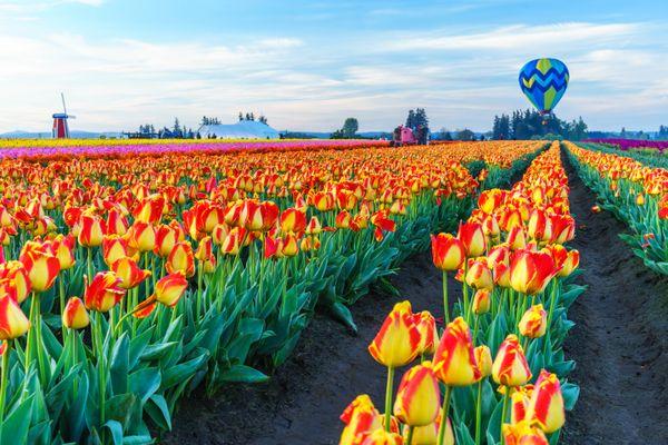 Hot air balloon rising over tulip fields thumbnail