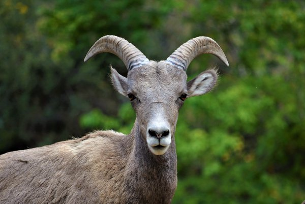 A Rocky Mountain bighorn sheep in Waterton Canyon thumbnail