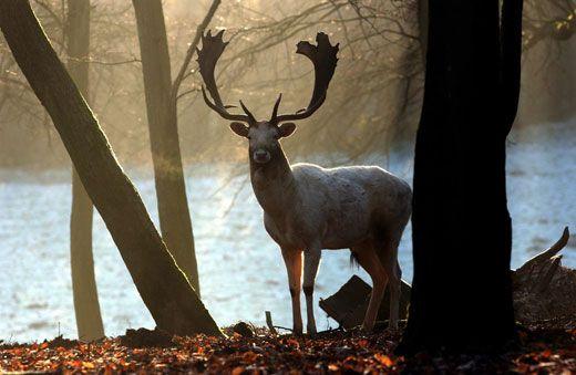 A fallow deer