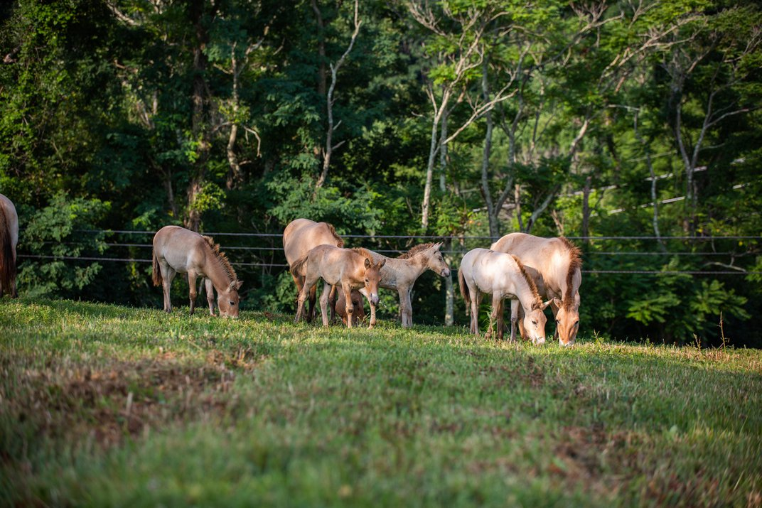 Four Foals Join the Herd of Przewalski's Horses at the Smithsonian