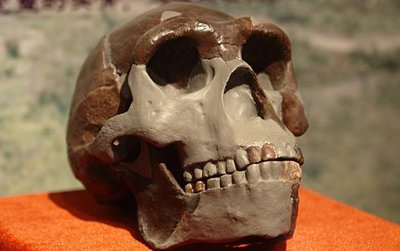 A replica of a Peking Man, or Homo erectus, skull on display in China.