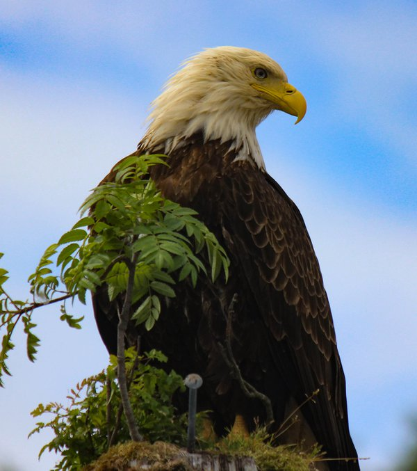 Bald Eagle at the boat dock of our Alaskan fishing charter thumbnail