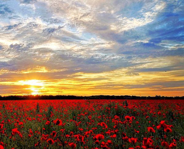 poppy field thumbnail