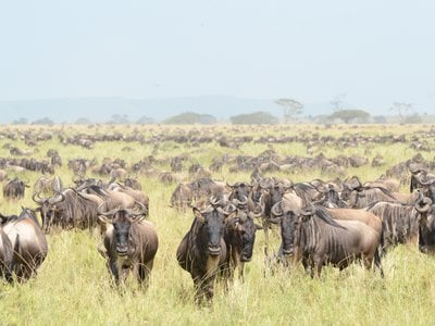 Clay's team captured 15 female gnus for study. Following controlled exposure to male mating calls in an experimental setting, the quadrupeds (and their offspring) were released back into the wild.