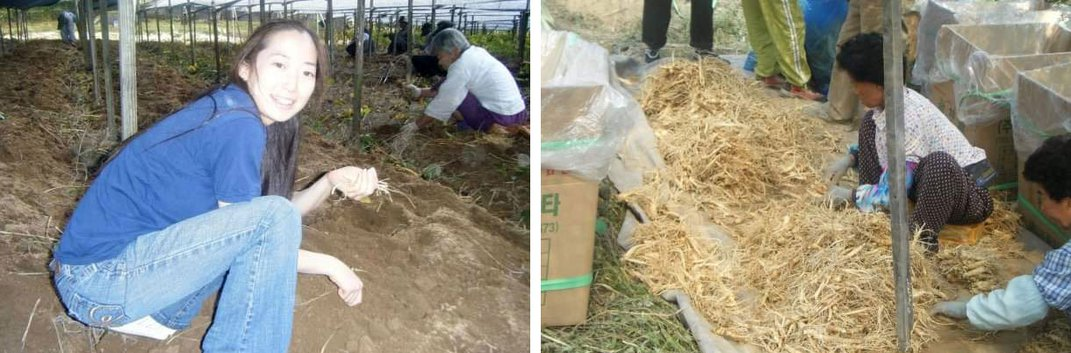 Two images side by side: on the left, a young woman kneels on the ground holding up thin, tan ginseng roots. On the right, older people kneel on the ground, sorting through a large pile of tan ginseng roots.