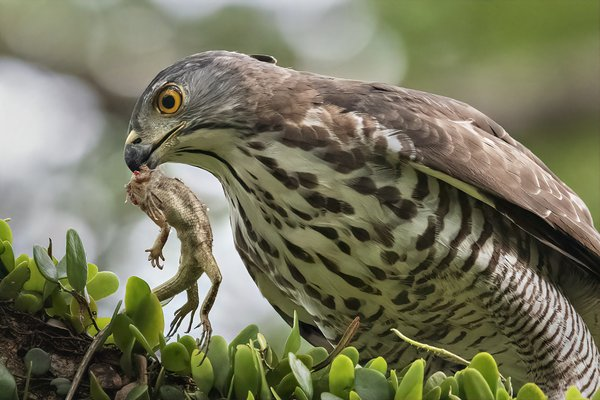 Crested Goshawk and a lizard thumbnail