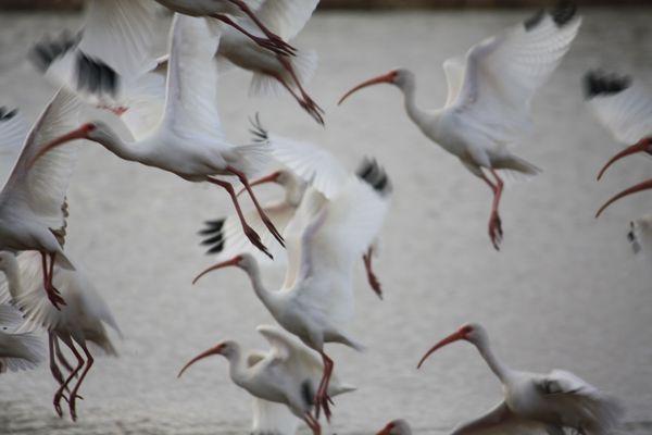 Ibises in a Texas suburban park thumbnail
