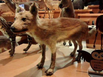 After comparing all genomes, the researchers found that the Japanese wolf is part of an evolutionary branch of wolves that arose 20,000 to 40,000 years ago. Some of the wolves from this branch evolved into the Japanese wolves while others branched off and gave rise to modern dogs.