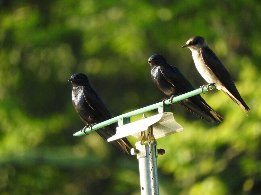 Three purple martin birds perched together.
