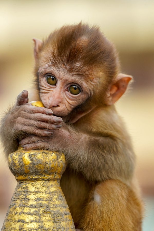 A baby monkey in Kathmandu thumbnail