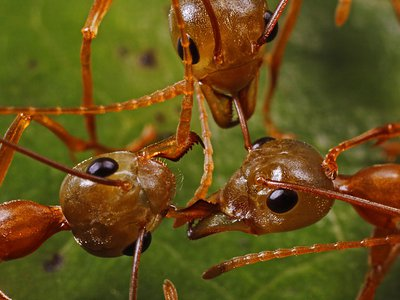 Large ant colonies with tens or hundreds of thousands of members engage in all-out war with other colonies as they compete for resources.